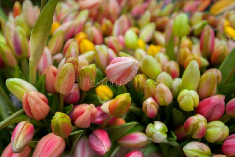 Tulips frescos coloridos fotos de stock royalty free