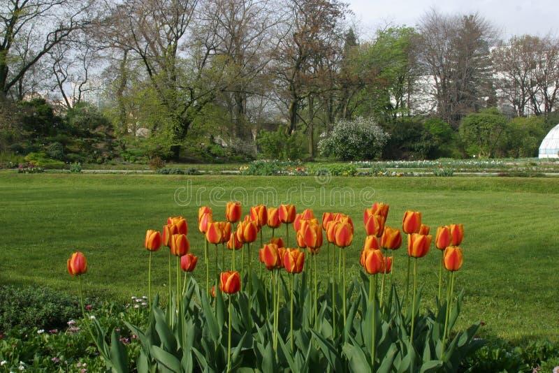 Tulips in full bloom. Tulip flowers in the garden stock image
