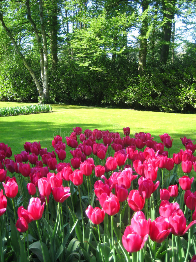 Download Tulips garden stock image. Image of spring, grass, holland - 4975725