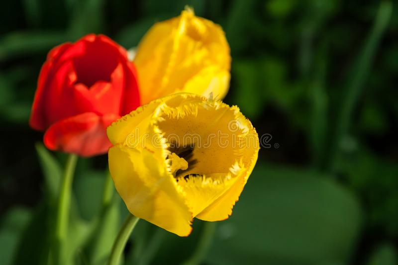 Tulips in the garden. Beautiful background. stock photography