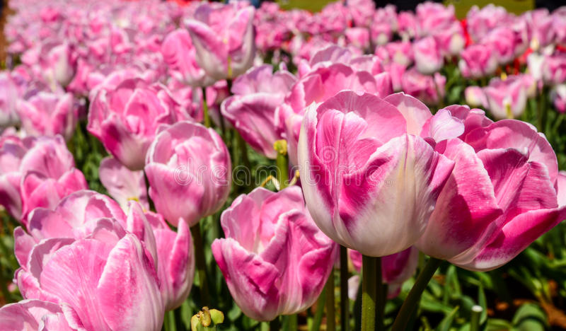 Tulips in a garden stock photos