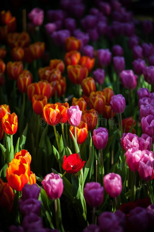 Tulips in the garden at the morning. Background, beautiful, beauty, bloom, blossom, bouquet, bright, color, colorful, concept, cute, day, decoration, design royalty free stock images