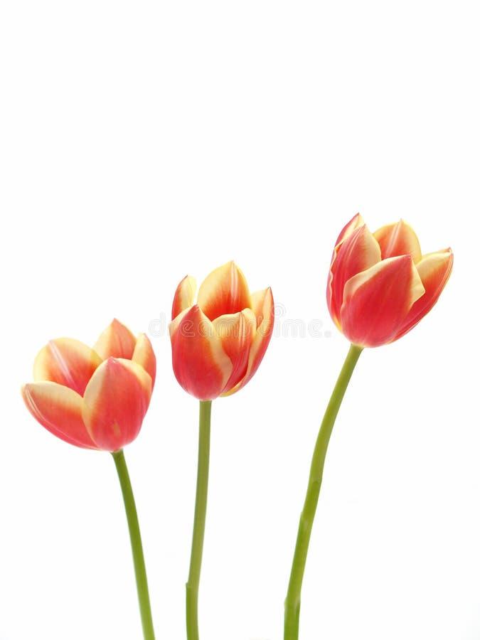 Tulips - gesneriana de tulipa imagens de stock royalty free