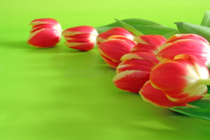 Tulips on green backround stock photo