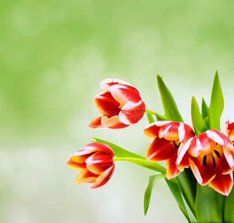 Download Tulips On Green Blurred Background Stock Photo - Image: 25112272