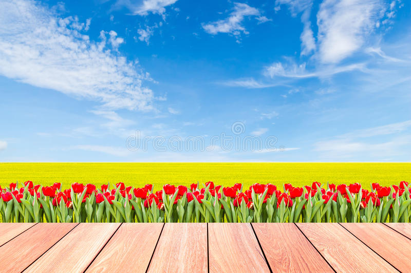 Tulips with green rice field against blue sky and plank wood. Tulips with green rice field against blue sky background and plank wood foreground royalty free stock photo