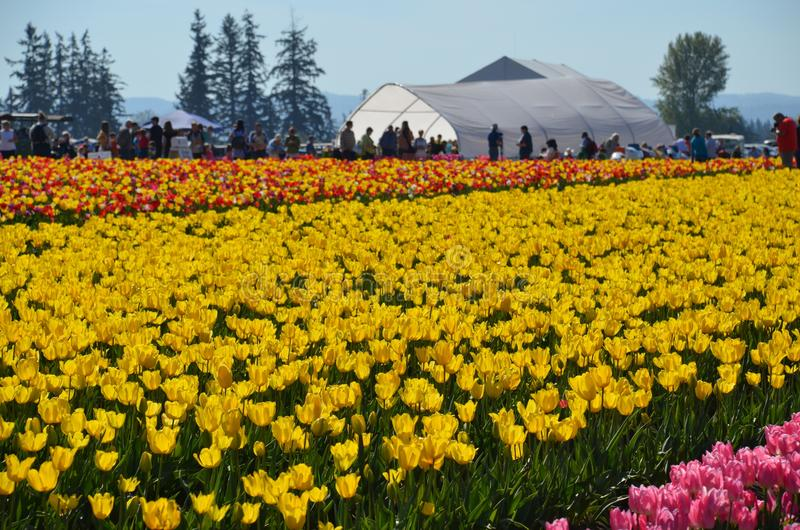 Tulips and Greenhouse on Tulip Farm. These are rows of colorful tulips in front of a green house on the Wooden Shoe Tulip Farm near Woodburn, Oregon royalty free stock photo