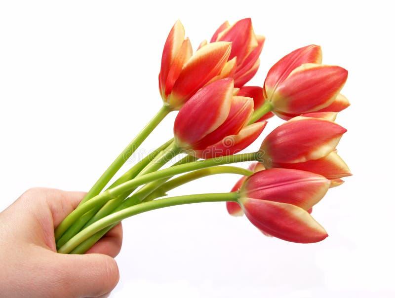 Tulips in hand stock photos