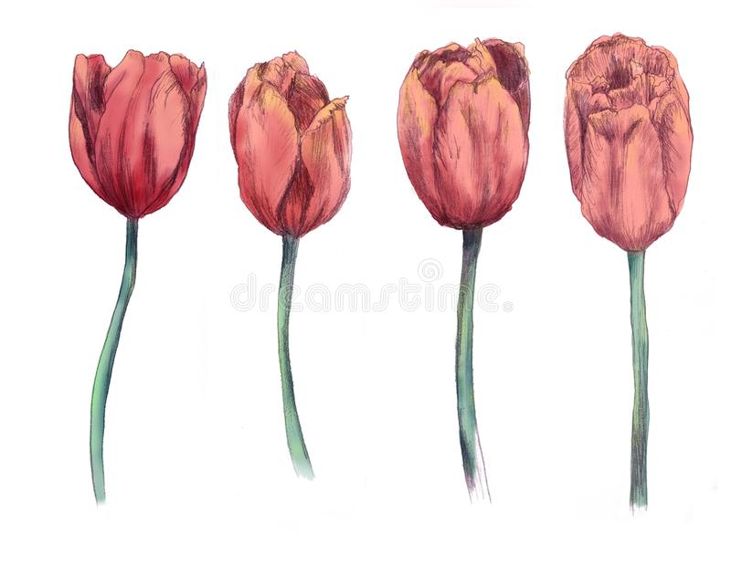 Tulips hand drawn illustration. flowers isolated on white background royalty free stock images