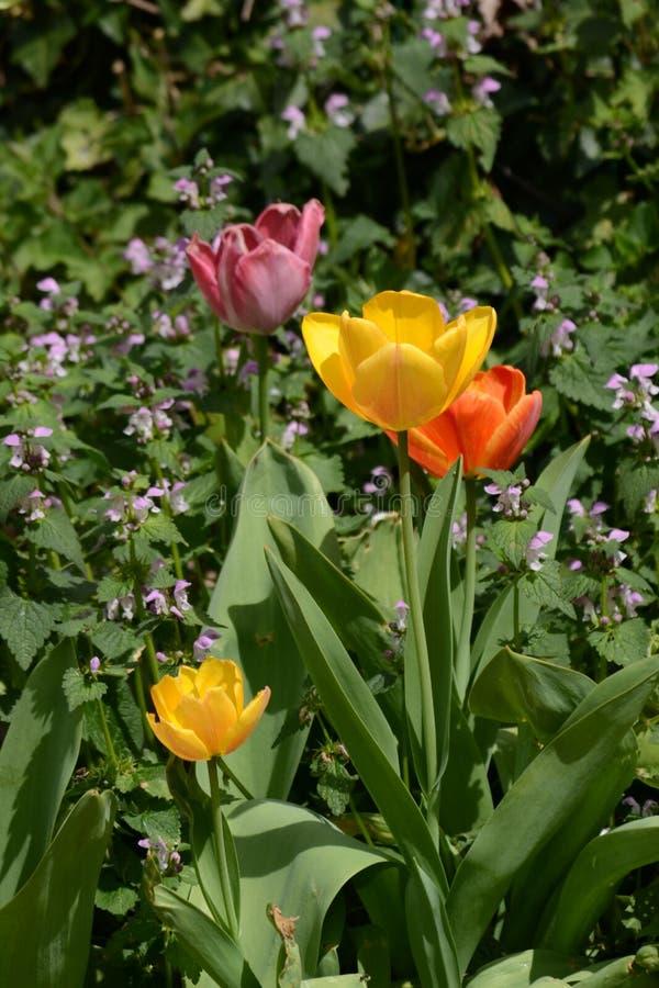 Tulips im Hüttengarten lizenzfreies stockbild
