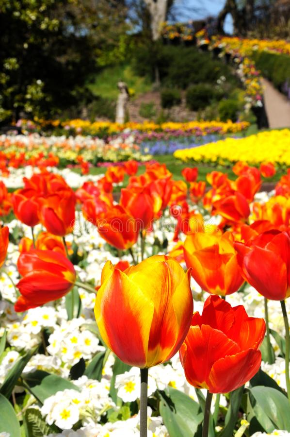 Free Tulips In The Dingle, Shrewsbury. Royalty Free Stock Images - 53753789