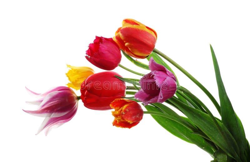 Tulips isolados no branco imagem de stock