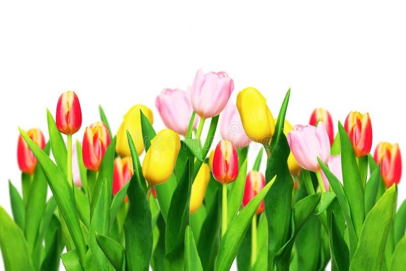 Tulips isolados no branco fotos de stock royalty free