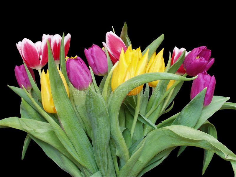 Download Tulips - Isolated stock image. Image of colors, blooming - 118539