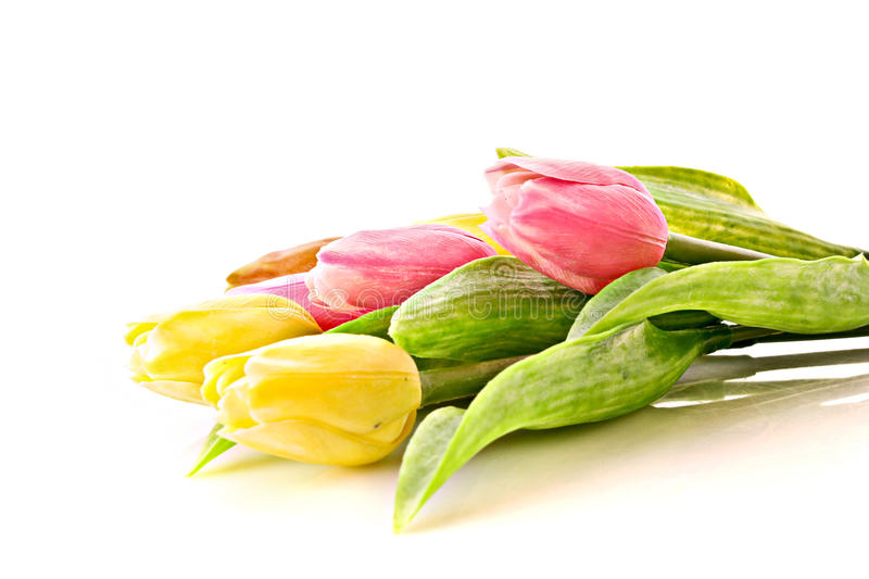 Tulips Isolated Royalty Free Stock Photography