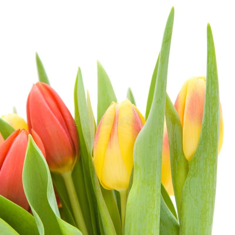 Tulips Isolated Stock Photos