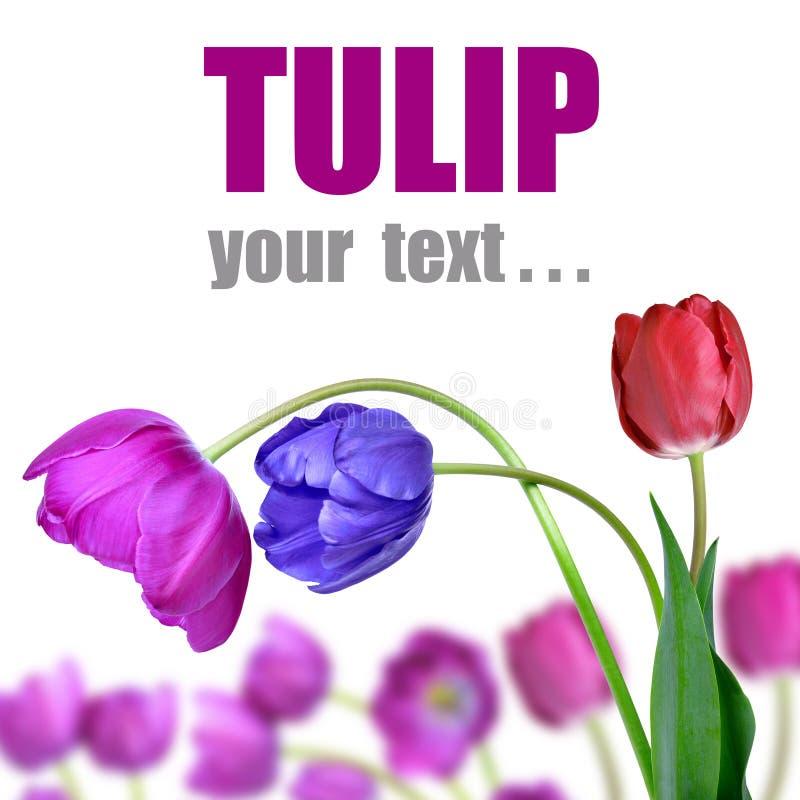 Download Tulips Stock Photo - Image: 39239919