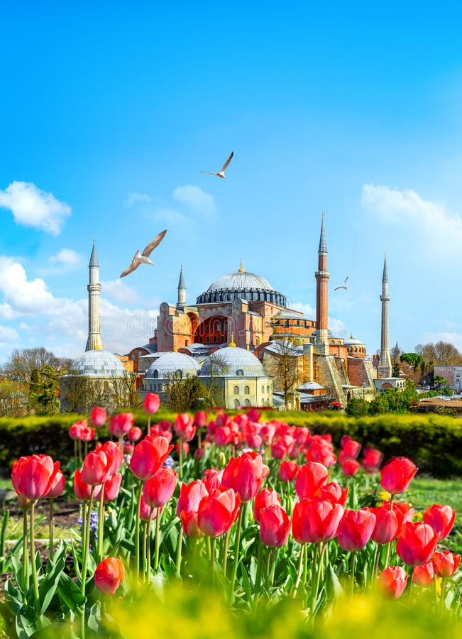 Tulips in Istanbul. During Tulip festival, in Sultanahmet region with Hagia Sophia royalty free stock photography