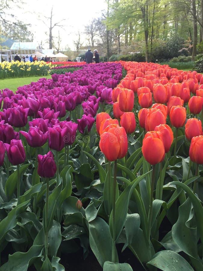 Colorful tulips at keukenhof park, Netherlands stock photography