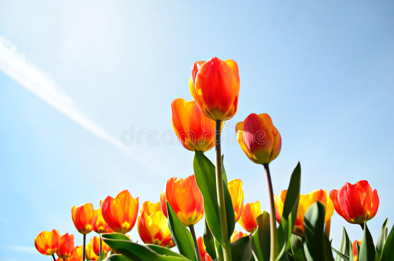Download Tulips From A Low Point Of View Stock Photo - Image: 28383322