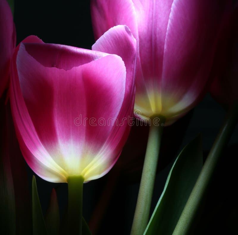 Tulips luminosos na noite imagem de stock