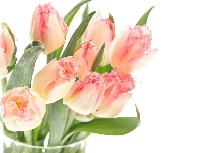 Tulips macios da mola no branco imagem de stock royalty free