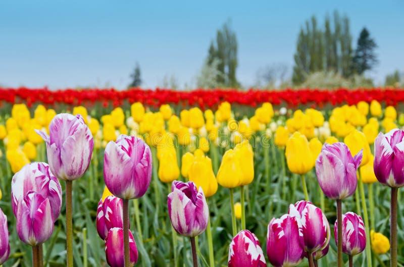 Tulips misturados imagens de stock