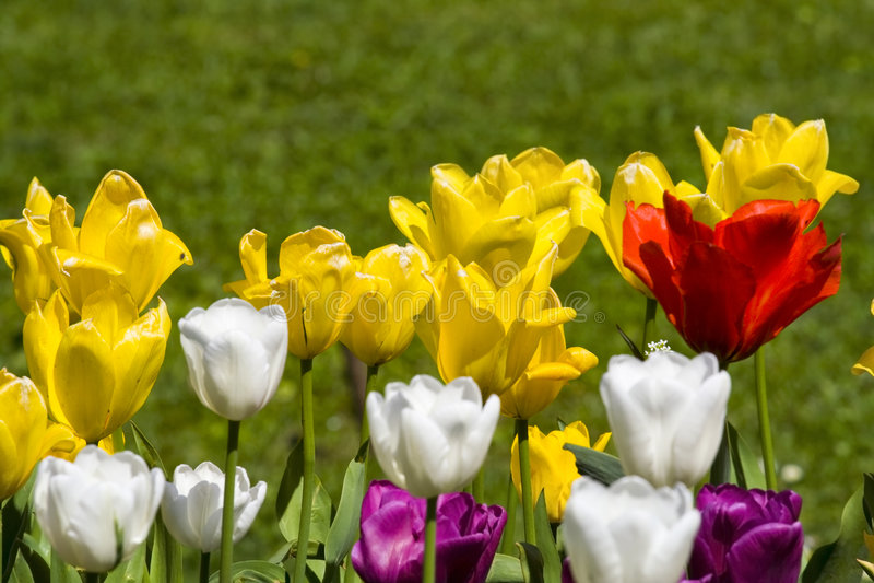 Tulips Multicolour foto de stock royalty free