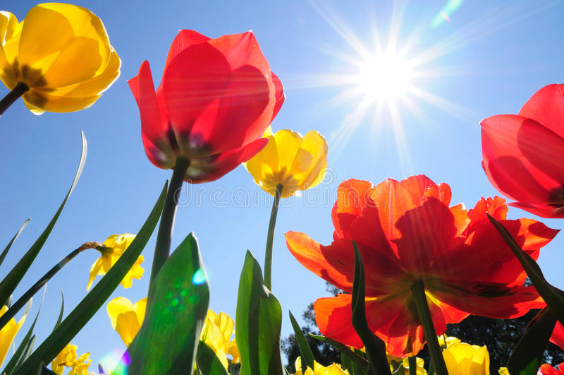 Tulips na luz do sol imagem de stock royalty free