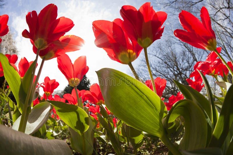 Tulips na mola imagens de stock
