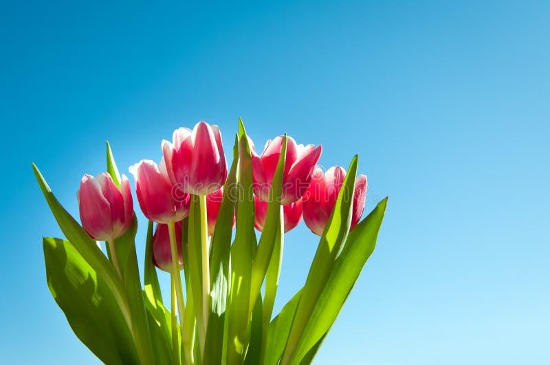 Tulips na mola com céu azul fotografia de stock royalty free