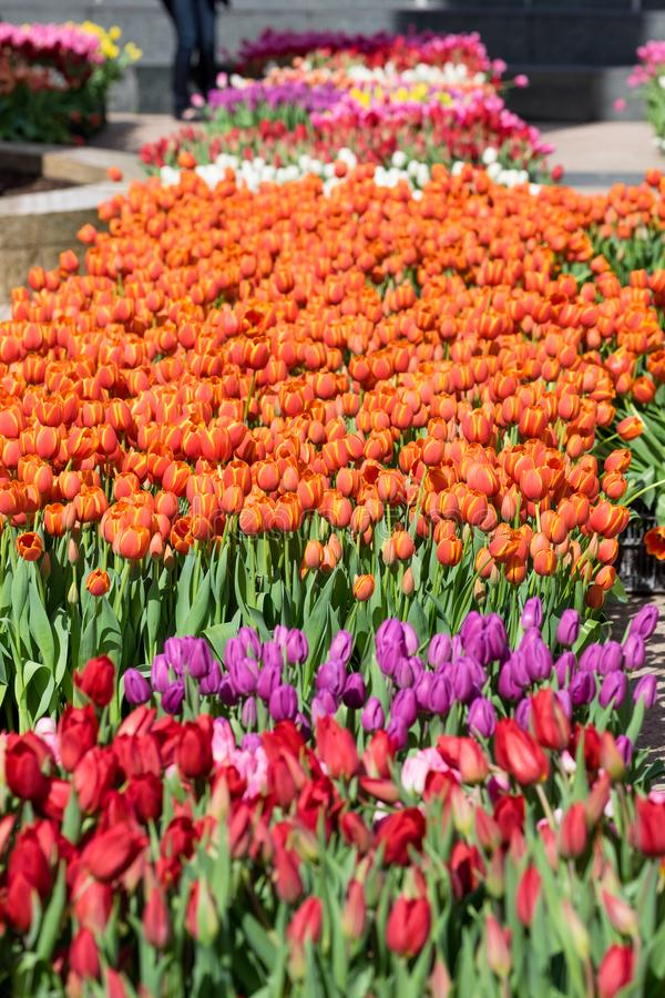 A field of Tulips - Orange with Yelllow Accents, Yellow, Purple, Red, White, Pink, Multi-color royalty free stock photo