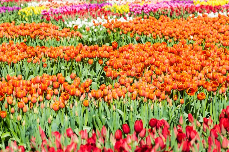 A field of Tulips - Orange with Yelllow Accents, Yellow, Purple, Red, White, Pink, Multi-color royalty free stock photography
