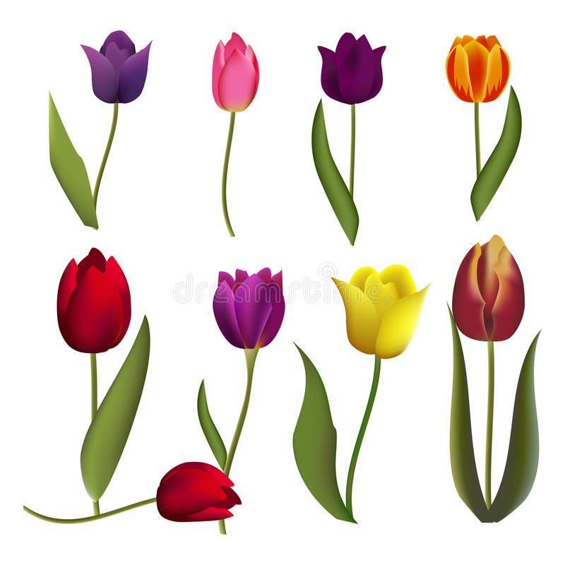 Tulips nature spring flower beautiful bouquet floral blossom vector illustration. Set different color realistic tulips isolated on white background. Tulips royalty free illustration