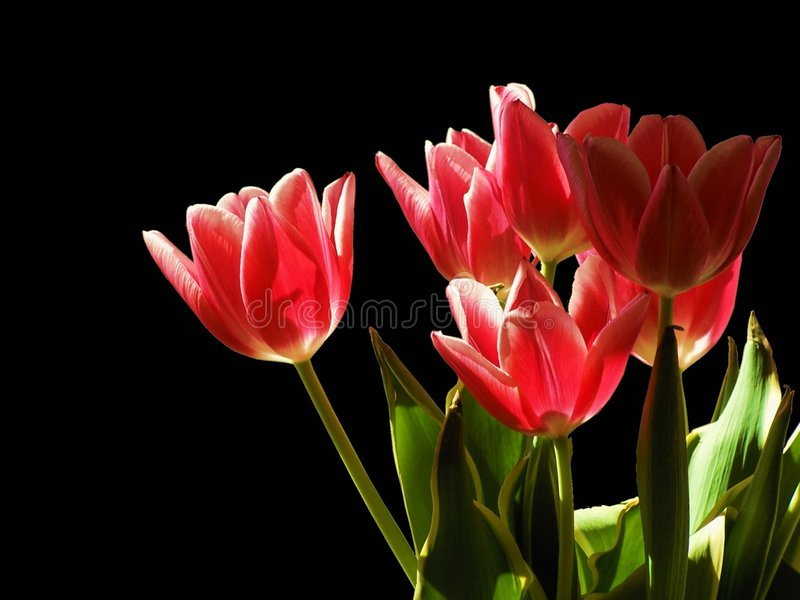 Tulips in the night stock photography