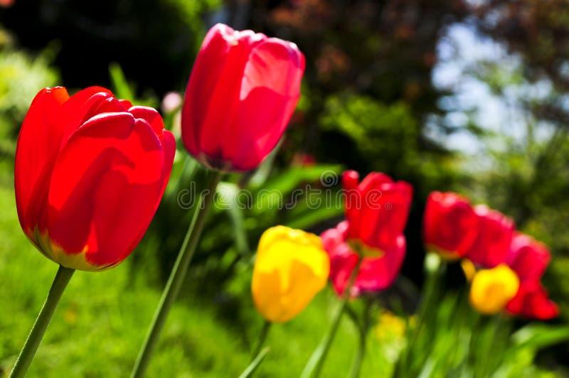Tulips no jardim da mola fotos de stock royalty free