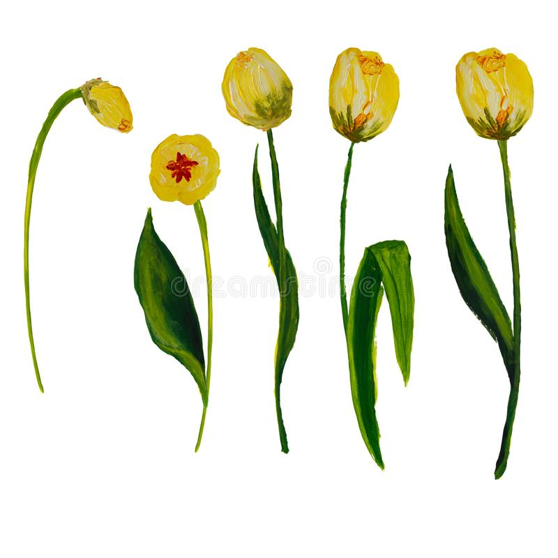 Tulips painted isolated on white background with space for text royalty free illustration