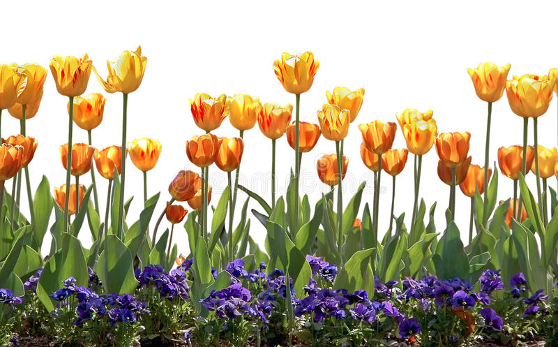 Download Tulips And Pansies Royalty Free Stock Photo - Image: 17800455