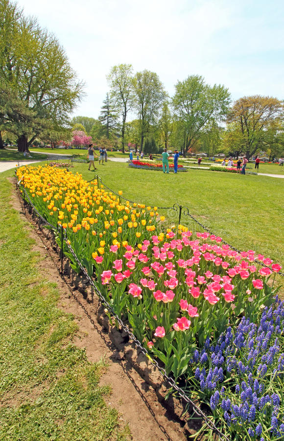 Download Tulips In Park, Tulip Festival, Albany NY Editorial Photo   Image:  53928466