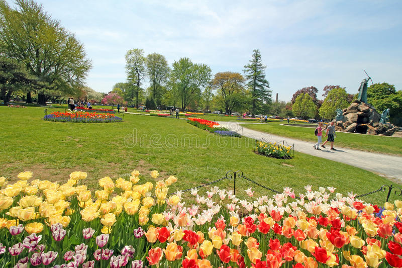 Download Tulips In Park, Tulip Festival, Albany NY Editorial Image   Image  Of Public