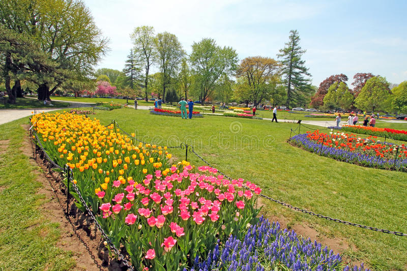 Download Tulips In Park, Tulip Festival, Albany NY Editorial Image   Image  Of Green