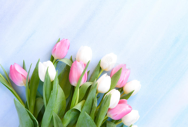 Tulips on pastel blue watercolor background royalty free stock photos