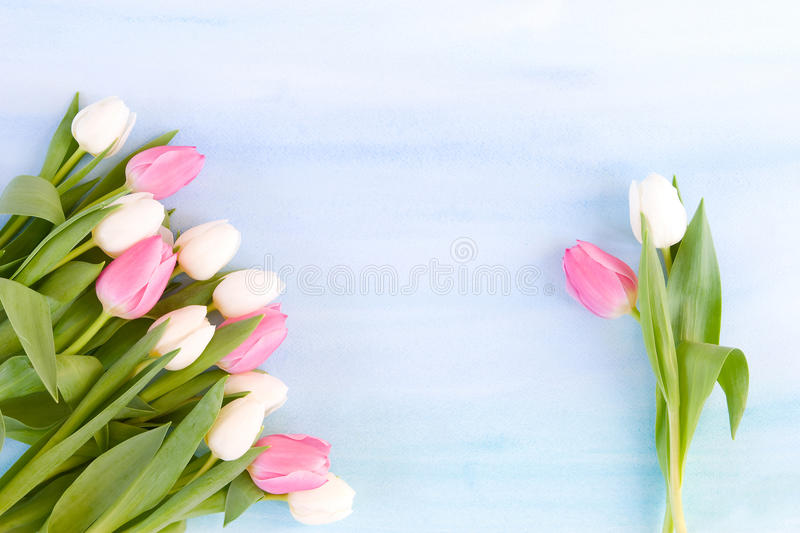 Tulips on pastel blue watercolor background stock photography