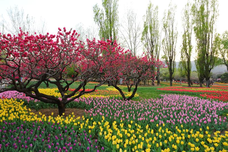 Tulips and Peach Blossoms In Garden Spring stock photography
