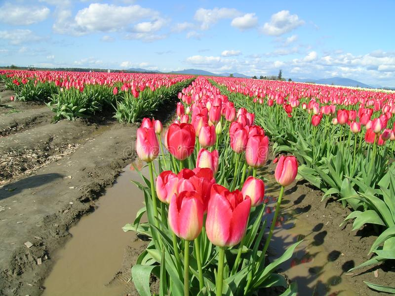 Tulips, Pink Free Stock Photo