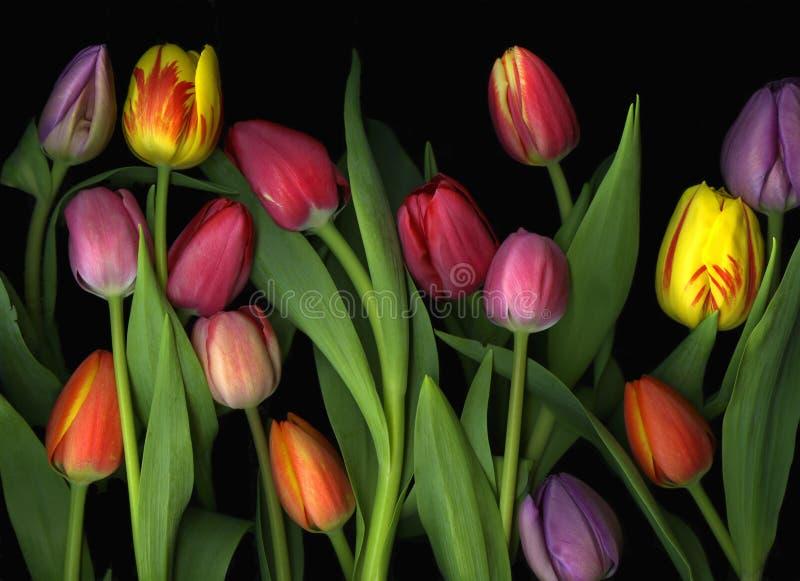 Tulips pintados fotos de stock