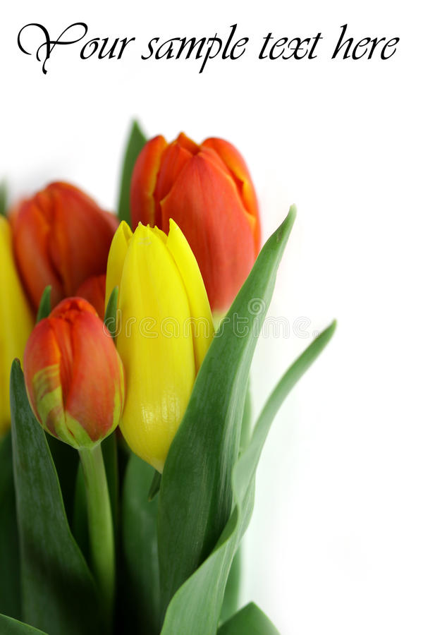 Tulips Post Card royalty free stock image