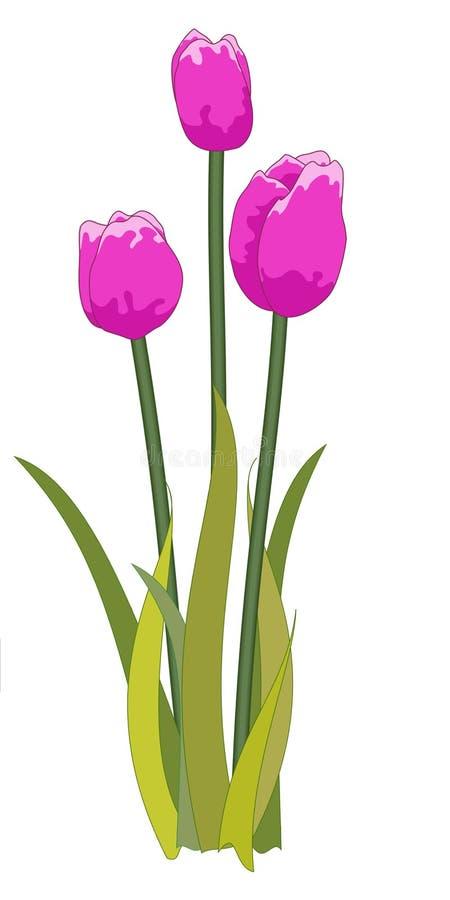 Tulips purple stock photos