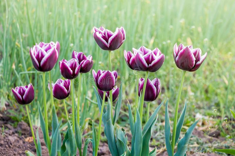 Tulips of purple and cherry blossoms with white lines on flower royalty free stock photos