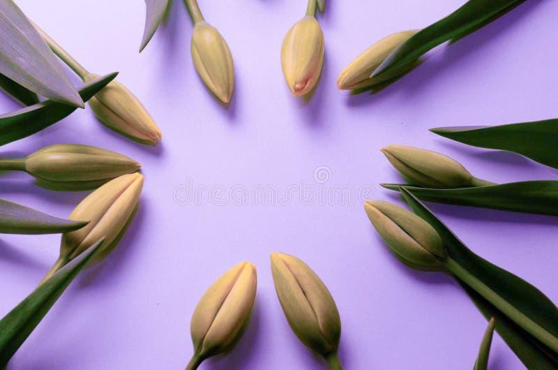 Tulips que dão forma a um frame foto de stock